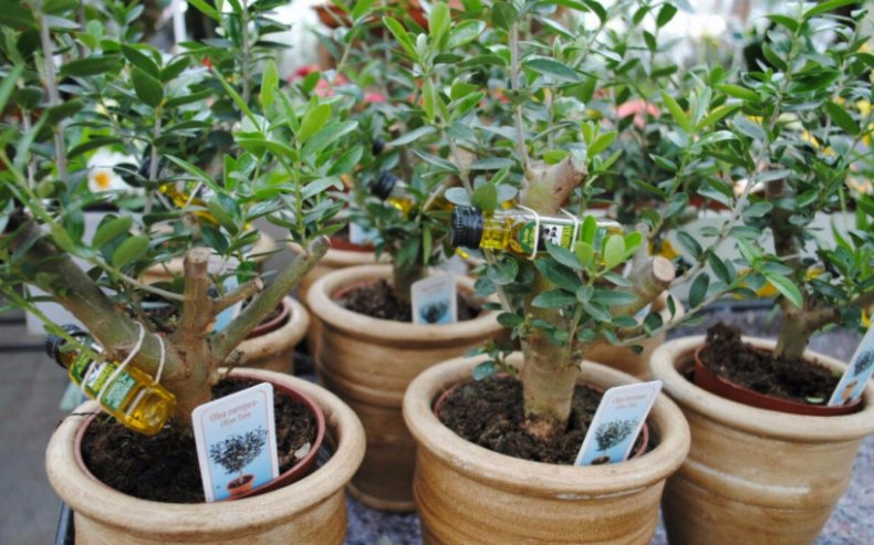 оливковый, дерево, olea, europaea, уход, домашний