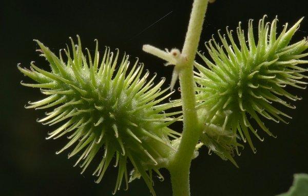 Дурнишник - лечебные свойства и противопоказания