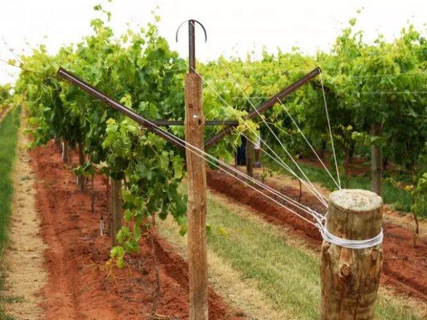 фото шпалера для винограда