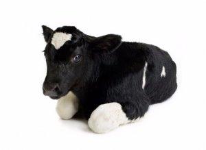 Если теленок поносит что надо делать