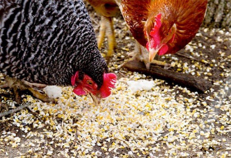 Зерновой корм для кур