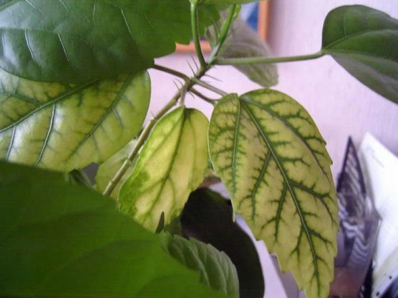 хлороз, комнатный, растение, лечить