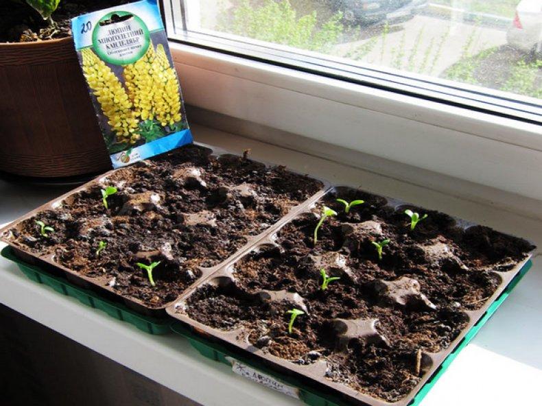 Выращивание люпинов