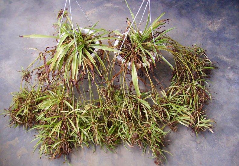 хлорофитум, хохлатый, описание, фото, выращивание