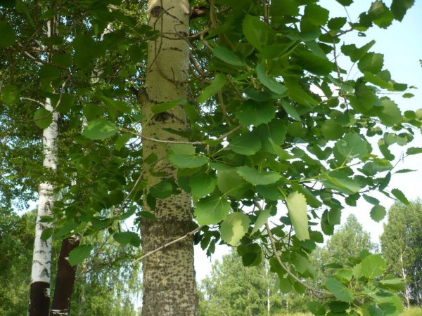 осина свойства дерева