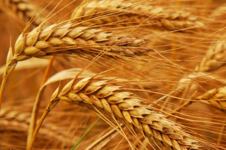 названия зерновых культур