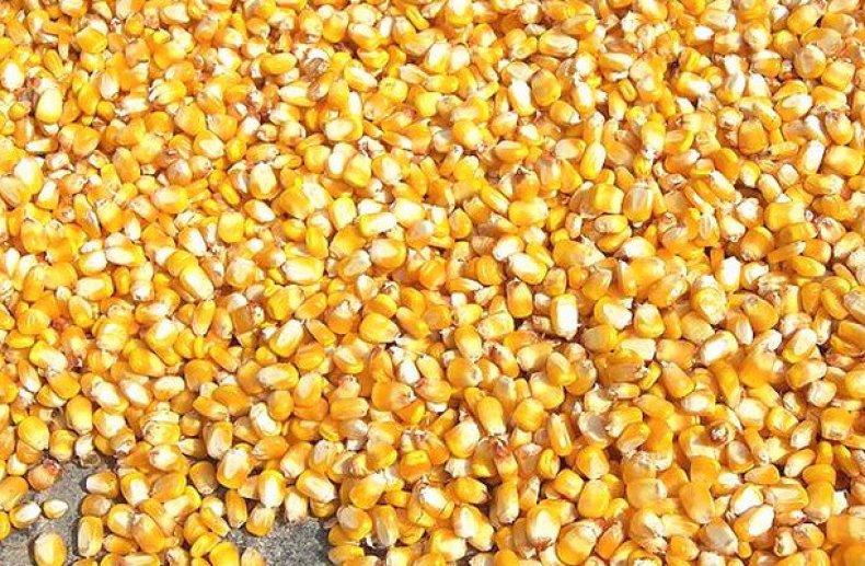Зерна кукурузи