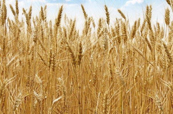 было фото ячменя пшеницы ржи подставы