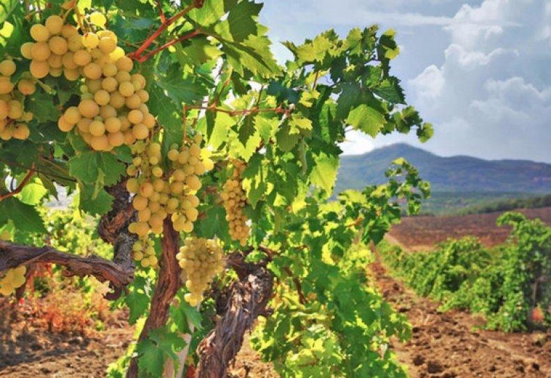 Йод для винограда