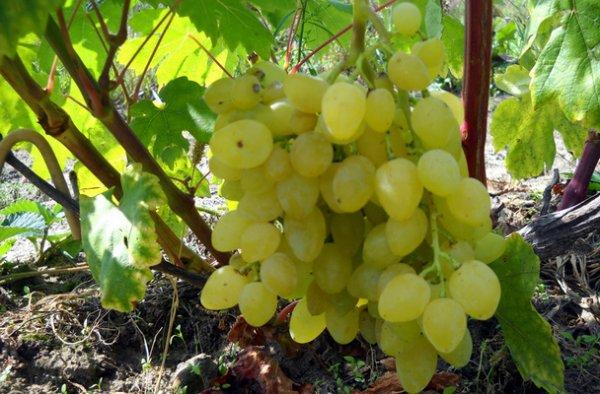 Виноград Зарница описание сорта особенности выращивания