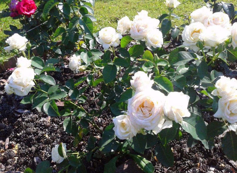 роза, шопен, описание, фото