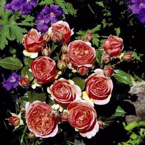Чайно-гибридные виды розы