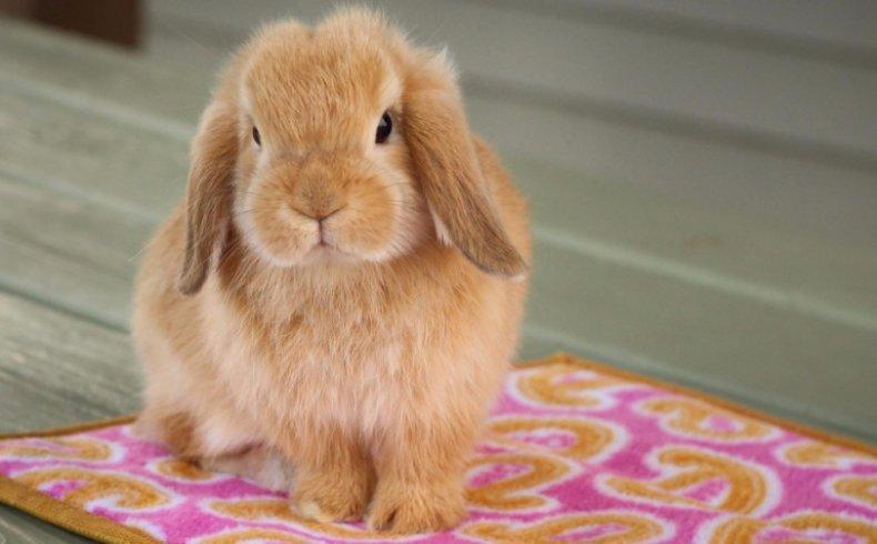 Голландский кролик