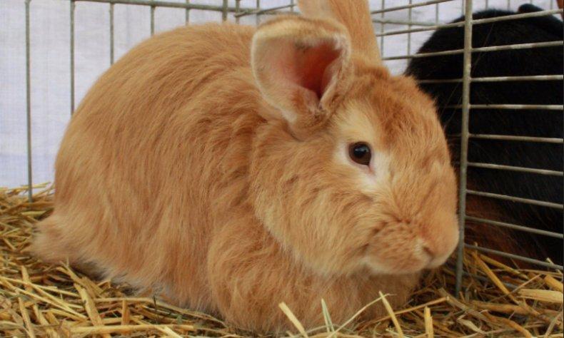 Лисий кролик