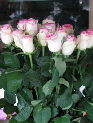 Выращивание роз черенками