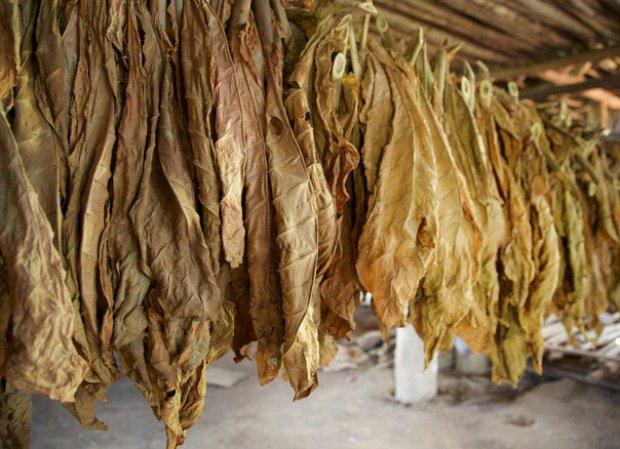 вокруг как правильно сушить листья табака самое большое