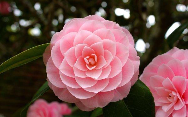 Роза комнатная уход в домашних условиях, почему гибнет в