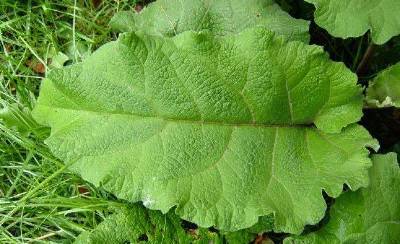 лист, лопух, противопоказание, народный, медицина, листочков лопуха