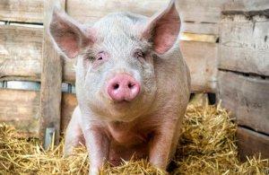 цистицеркоз, финноз, свинья, передавать, лечение