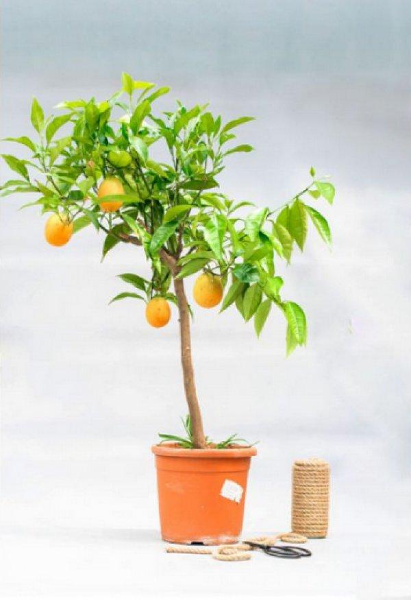 Апельсин Вашингтон Навел в домашних условиях комнатный