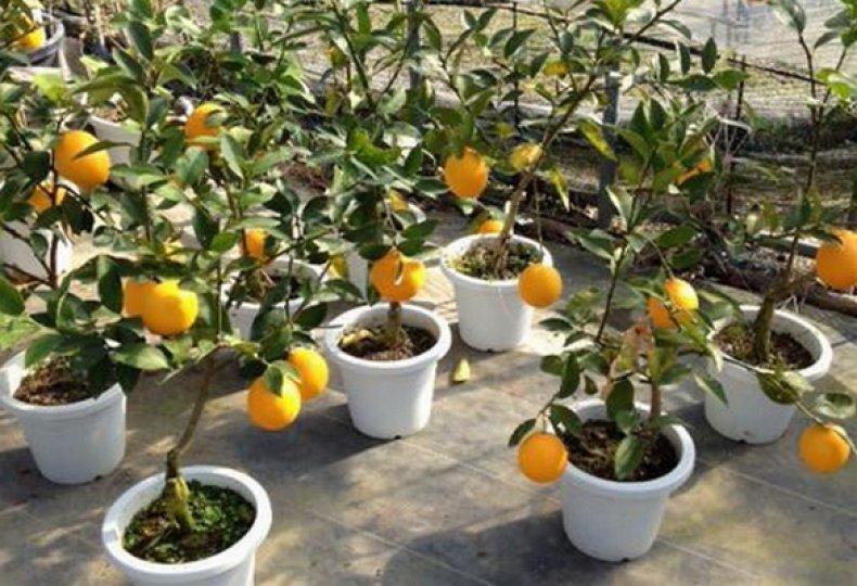 Апельсин выращивание в домашних условиях из косточки 646