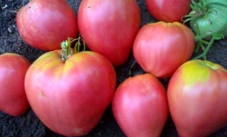 семя, томат, сибирский, селекция