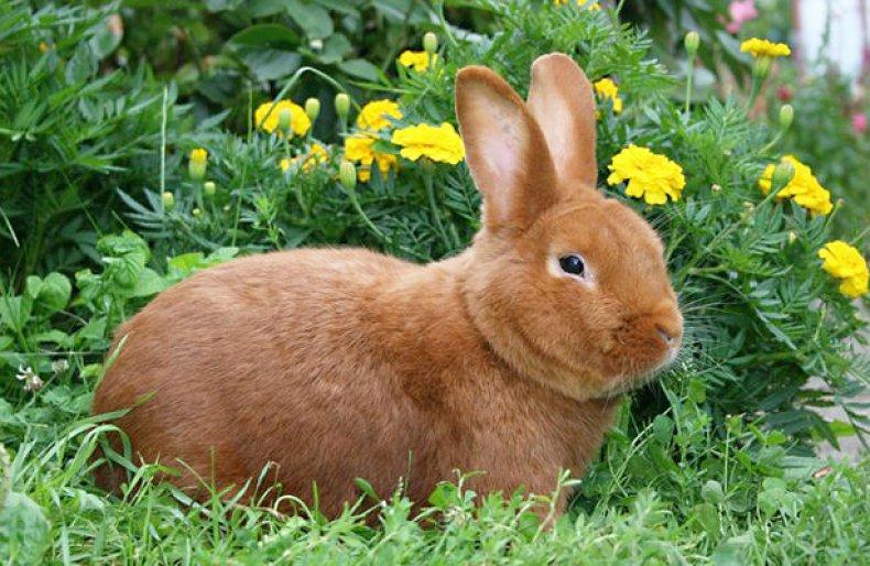 Новозеландские красные кролики