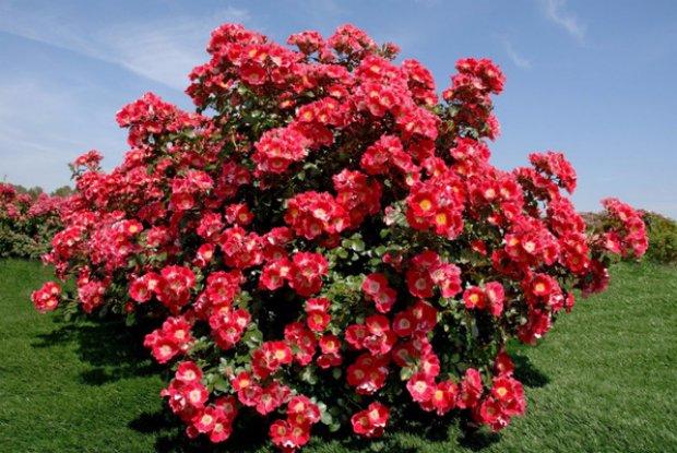 Парковые розы фото и описание