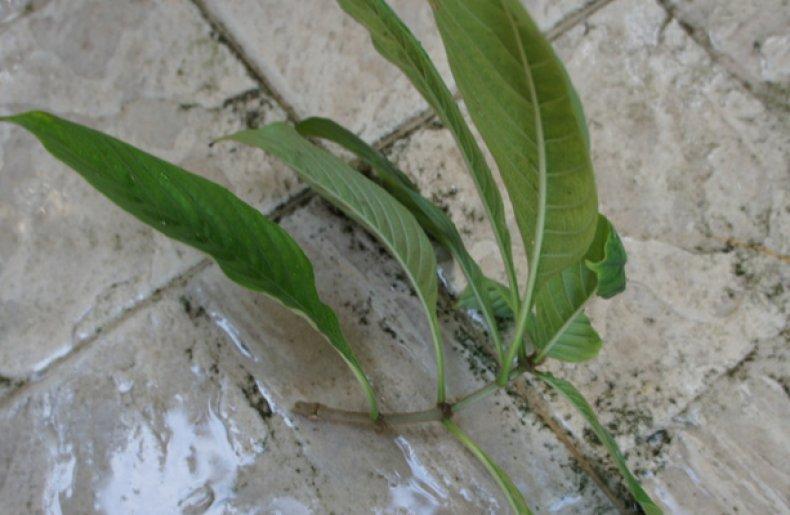 муссенда, выращивание, размножение, уход