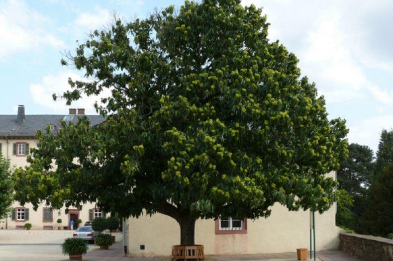 список, декоративный, дерево, описание