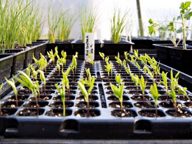 Выращивание перца в теплице из семян