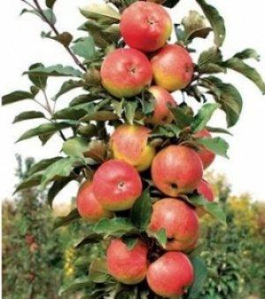 Сорт яблонь Васюган