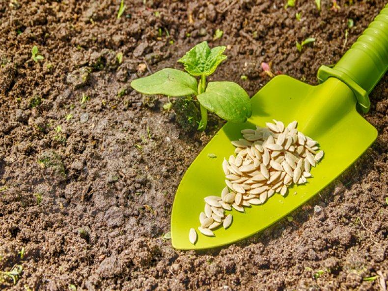 Семена огурцов «Родничок»