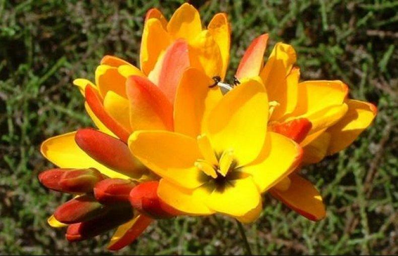 Иксия оранжевая
