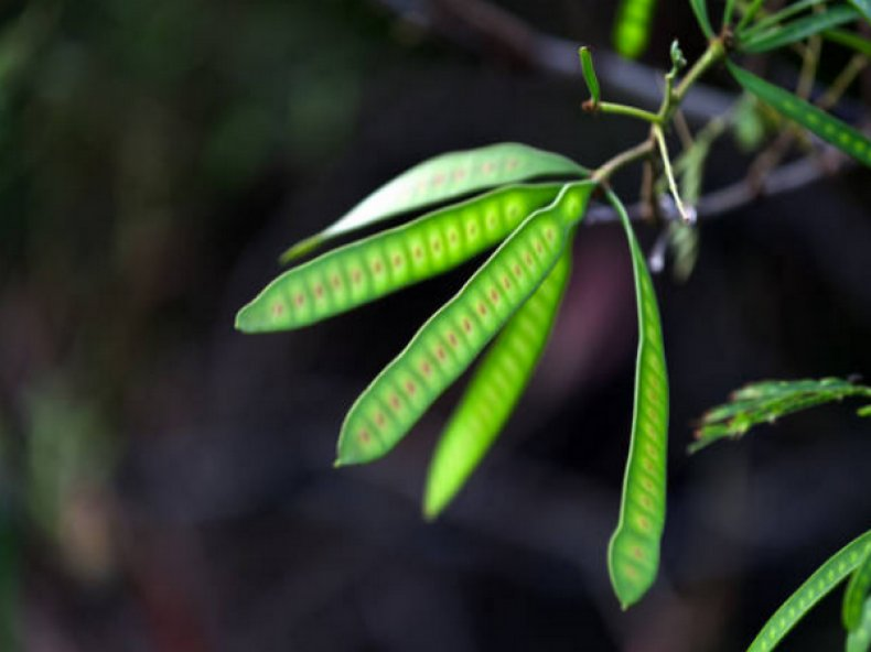 тополь, серебристый, ботанический, описание