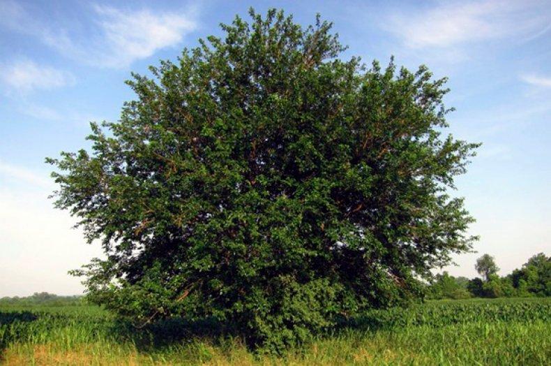 Ботаническое описание и характеристика семейства тутовые