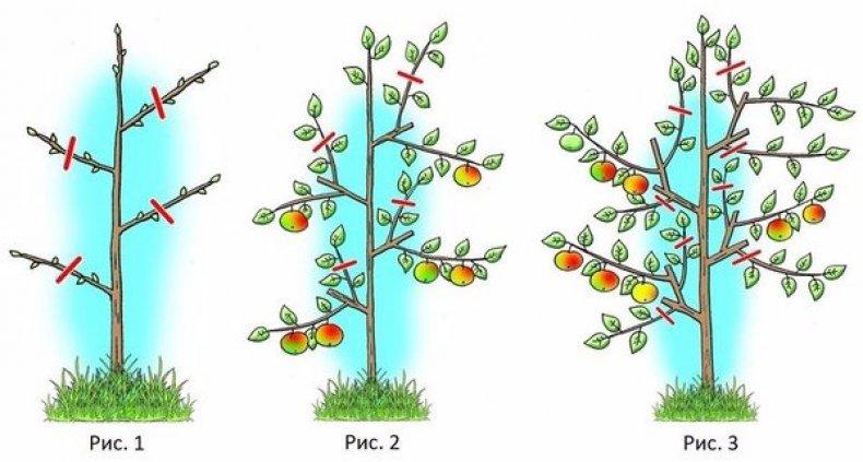 Колоновидные фруктовые деревья