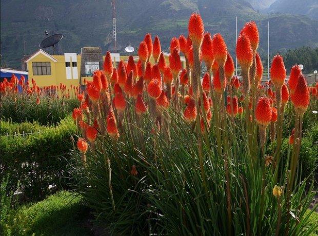 Книфофия: посадка и уход в открытом грунте, описание цветов с фото