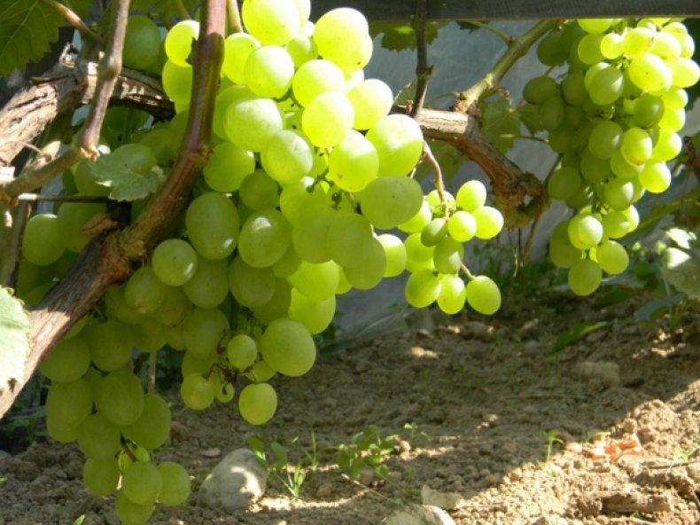 Сорт винограда «Белое чудо»