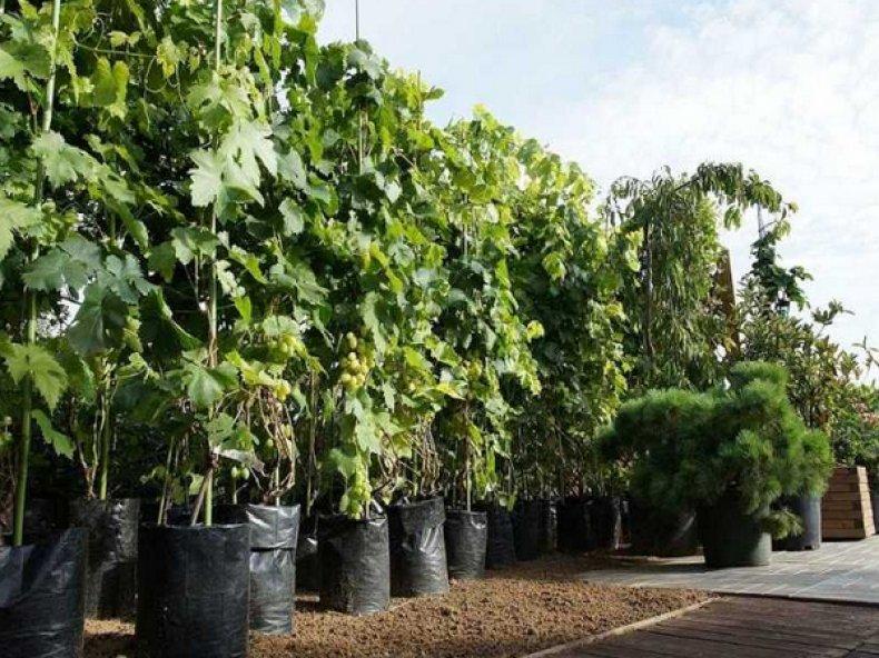 Саженцы винограда «Белое чудо»