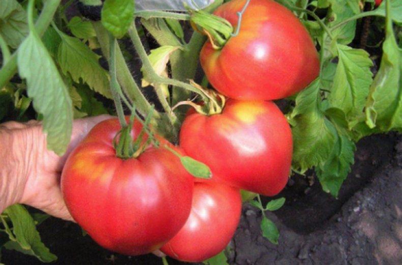 томат, севрюга, описание, сорт, фото, описание сорта фото