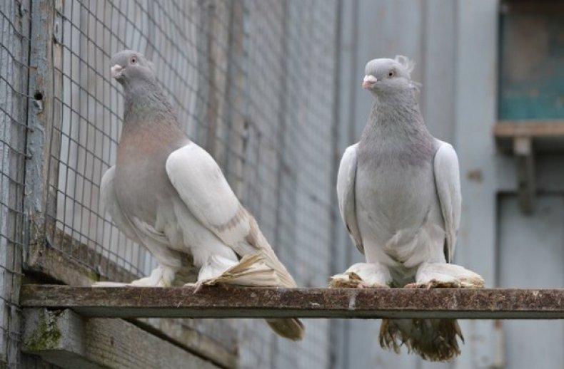 узбекский, голубь, фото, название, описание, данного вида