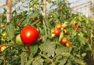 Болезни томатов в теплице описание, фото, причины, лечение, профилактика