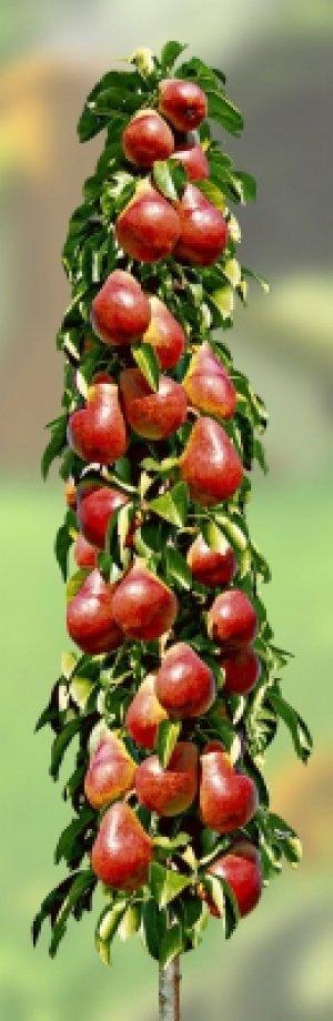 Плоды колоновидной груши очень сладкие