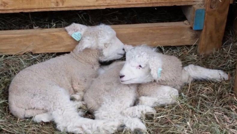 овца, ромни-марш, кентские, описание