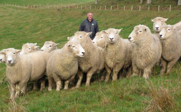 характеристика породы ромни-марш овцы