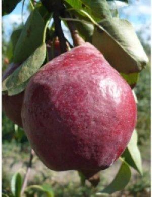 Плоды сорта «Кармен» выглядят очень привлекательно