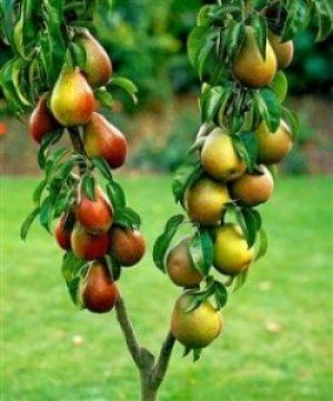 Чтобы дерево хорошо росло и плодоносило, нужно потратить немало времени и сил