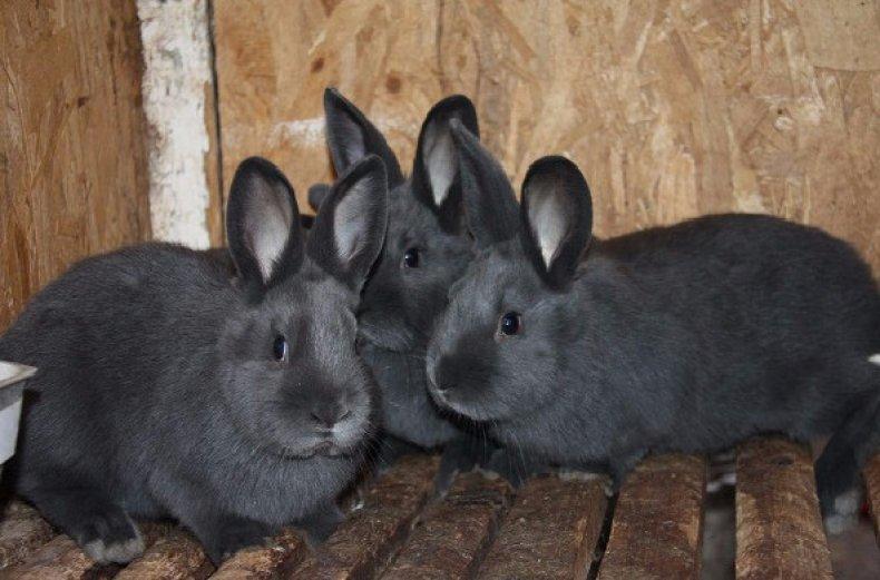 спаривание, случка, кролик, подпускать, крольчиха, подпускать крольчиху