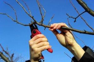 От обрезки дерева зависит очень много